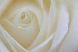 Soft Rose 4 Photographic Print by Doug Chinnery
