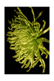 Small Fuji Mum II Poster by Renee W. Stramel
