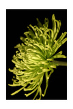 Small Fuji Mum III Prints by Renee W. Stramel