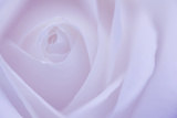 Soft Rose 6 Photographic Print by Doug Chinnery