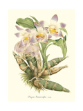 Lavender Orchids I Poster by P. Stroobant