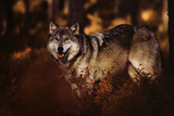 Wolf Story Photographic Print by Art Wolfe
