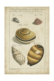 Vintage Shell Study IV Art by  Martini