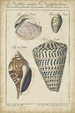Vintage Shell Study II Prints by  Martini