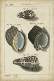 Vintage Shell Study III Posters af Martini