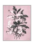 Dussurgey Ellebore on Pink Posters by  Dussurgey