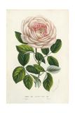 Van Houtte Pink Rose Prints by Louis Van Houtte