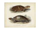 Antique Turtle Pair II Posters van  Vision Studio