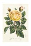 Van Houtte Yellow Rose Poster von Louis Van Houtte