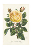Van Houtte Yellow Rose Posters by Louis Van Houtte