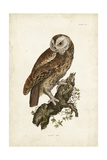 Tawny Owl Prints by John Selby