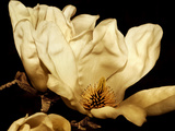 Buttercream Magnolia II Photographic Print by Rachel Perry