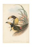 Tropical Toucans IV Prints by John Gould