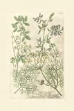 Garden Varietals IV Prints by Johann Weinmann