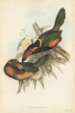 Tropical Toucans V Poster by John Gould