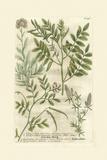 Garden Varietals II Kunstdrucke von Johann Wilhelm Weinmann
