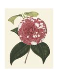 Antique Camellia II Print by  Van Houtte