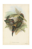 Tropical Toucans VI Prints by John Gould