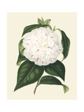 Antique Camellia I Prints by  Van Houtte