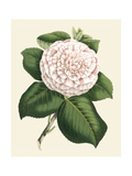Antique Camellia IV Posters by  Van Houtte