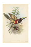 Tropical Toucans III Posters by John Gould
