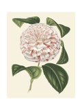 Antique Camellia III Prints by  Van Houtte