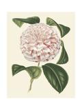 Antique Camellia III Prints by  Van Houtte