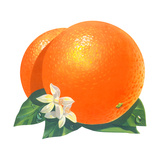 Orange Blossoms and Fruit Giclee Print