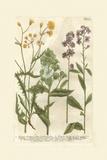 Garden Varietals VI Plakater af Johann Wilhelm Weinmann