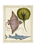 Antique Rays and Fish II Posters by  Chevillet