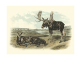 Moose Deer Prints by John James Audubon