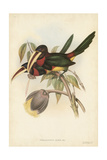 Tropical Toucans VIII Prints by John Gould