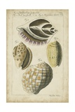 Vintage Shell Study I Poster by  Martini