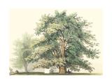 Majestic Oak Posters