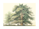 Majestic Oak Giclee Print