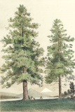 Majestic Pine II Prints