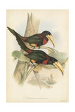 Tropical Toucans VII Poster by John Gould
