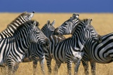 Herd of Plains Zebras Photographic Print by Paul Souders