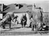 Performing Elephants Photographic Print