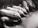Piglets Suckling at Mother's Teats Photographic Print