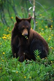 Black Bear Eating Dandelions in Meadow Lámina fotográfica por Paul Souders