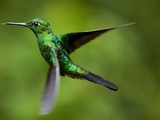Steely-Vented Hummingbird in Flight Photographic Print by Paul Souders