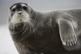 Bearded Seal on Iceberg in the Svalbard Islands Photographic Print by Paul Souders
