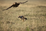 Blackbacked Jackal Chasing Tawny Eagle Near Wildebeest Kill Photographic Print by Paul Souders