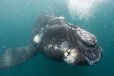 Southern Right Whale Off Peninsula Valdes, Patagonia Photographic Print by Paul Souders