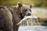 Brown Bear Bear Holding Salmon in Stream at Geographic Harbor Photographic Print by Paul Souders