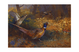 A Cock and Hen Pheasant at the Edge of a Wood Reproduction procédé giclée par Archibald Thorburn