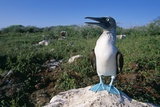 Blue Footed Boobie in Galapagos Islands National Park Photographie par Paul Souders