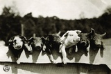 Row of Pigs Resting on Fence Photographic Print