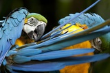 Blue-And-Gold Macaws at Zoo Ave Park Photographic Print by Paul Souders